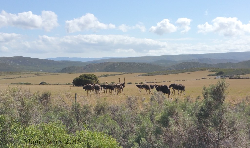 Six Months in South Africa: Cloetes Pass: Ostriches, Cloetes Pass (© Magi Nams)