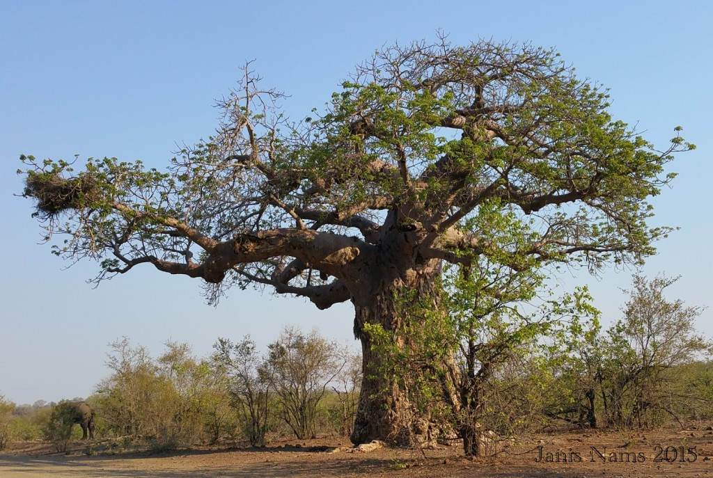 Six Months in South Africa: Kruger National Park: Elephant and Baobab Tree, Kruger National Park (© Janis Nams)