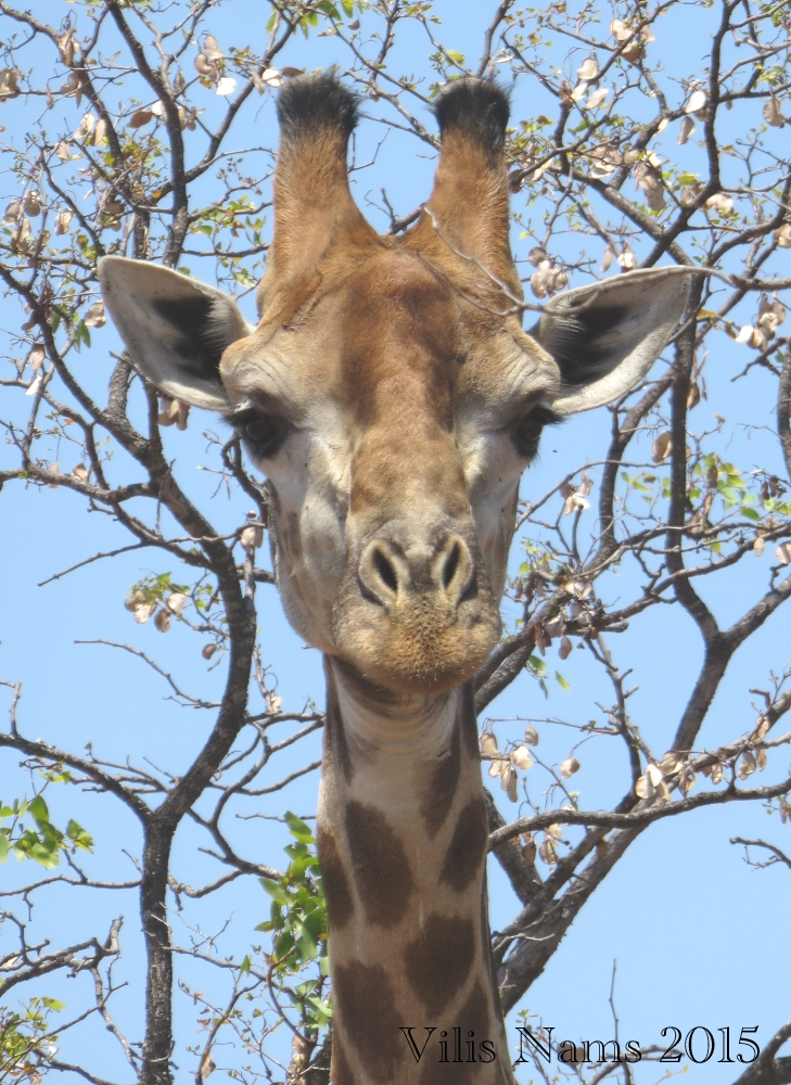 Six Months in South Africa: Kruger National Park: Giraffe (Giraffa camelopardalis) (© Vilis Nams)