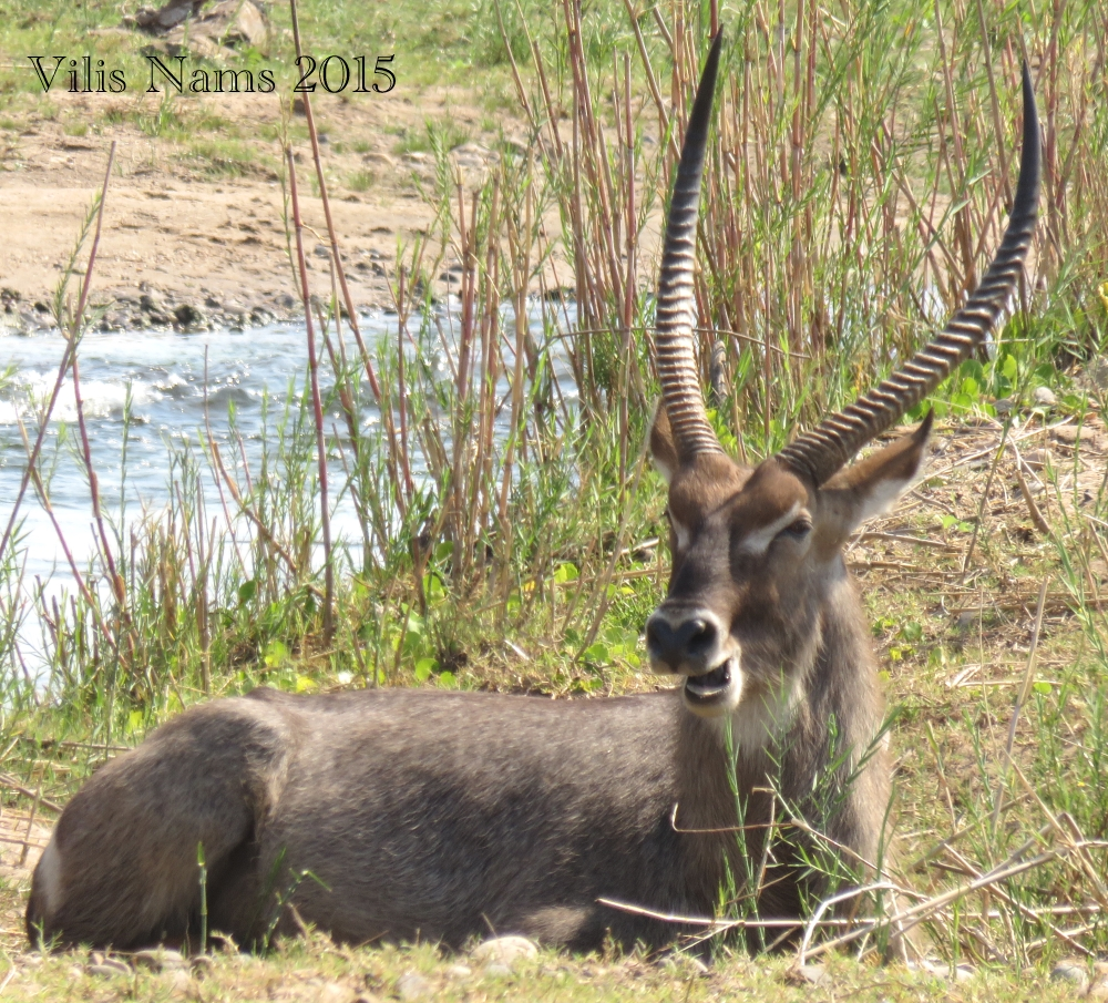 Six Months in South Africa: Kruger National Park: Waterbuck (Kobus ellipsiprymnus) (© Vilis Nams)