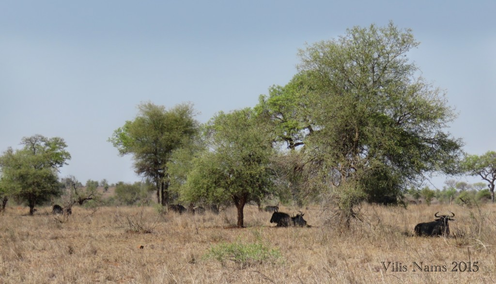 Six Months in South Africa: Kruger National Park: Blue Wildebeests Resting in Shade (© Vilis Nams)