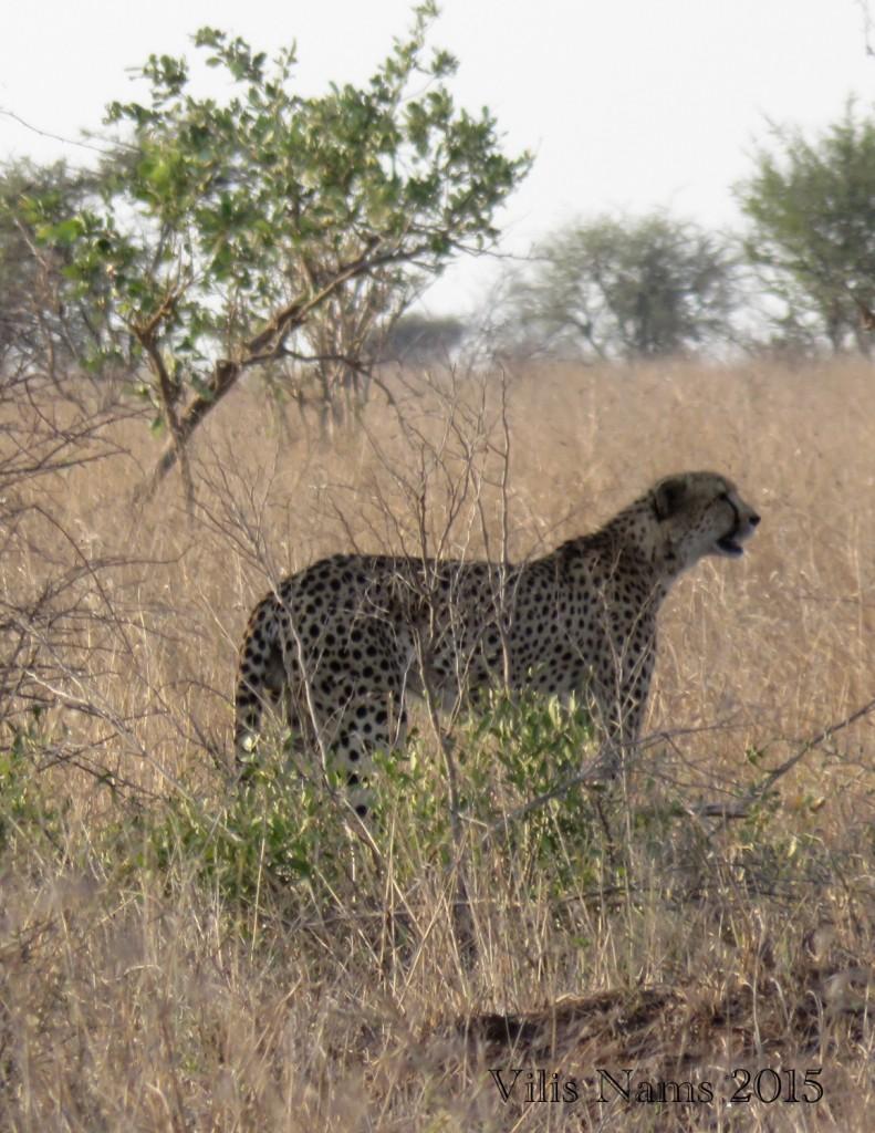Six Months in South Africa: Kruger National Park: Cheetah (Acinonyx jubatus) (© Vilis Nams)