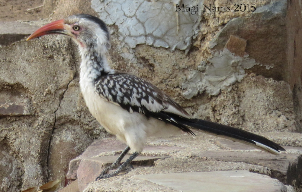 Six Months in South Africa: Kruger National Park: Southern Red-billed Hornbill (Tockus erythrorhynchus) (©Magi Nams)