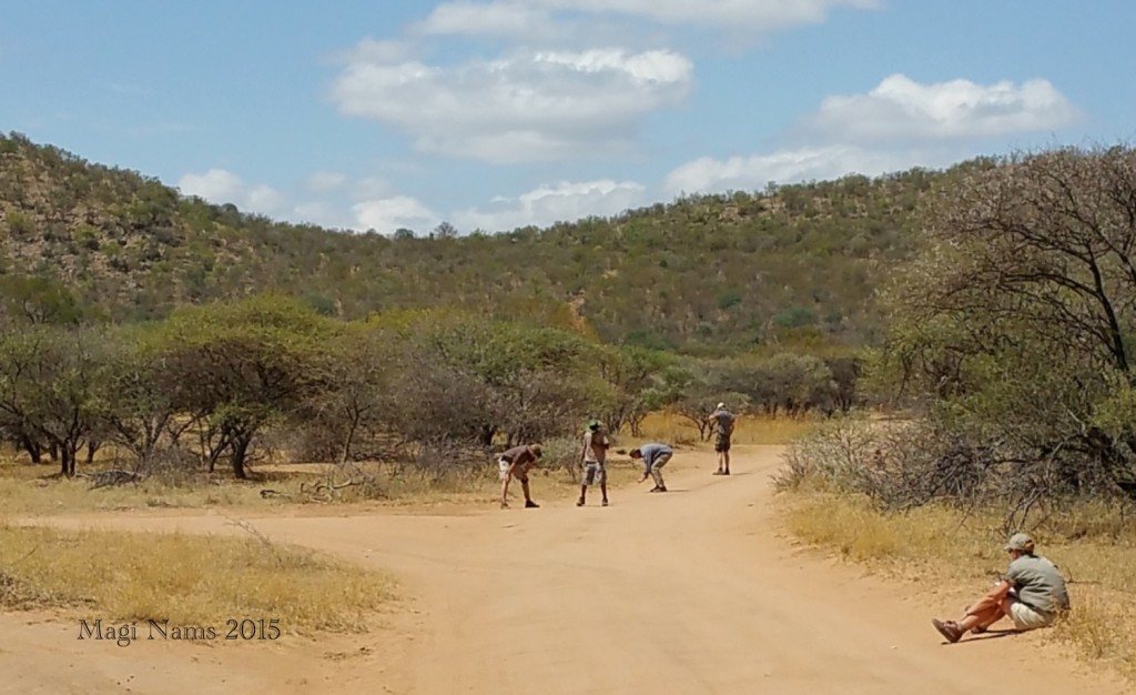 Reading African Animal Tracks and Sign on the road at Mabalingwe while Linky waits. (© Magi Nams)