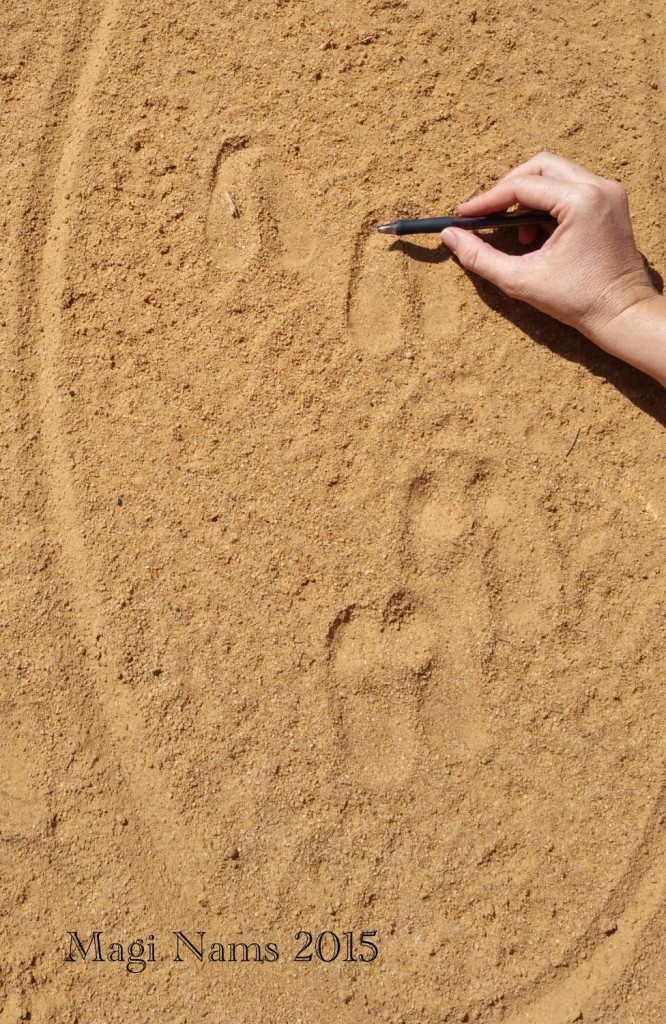 Reading African Animal Tracks and Sign: Blue Wildebeest Tracks (© Magi Nams)
