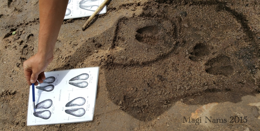 Reading African Animal Tracks and Sign: Waterbuck Track (© Magi Nams)