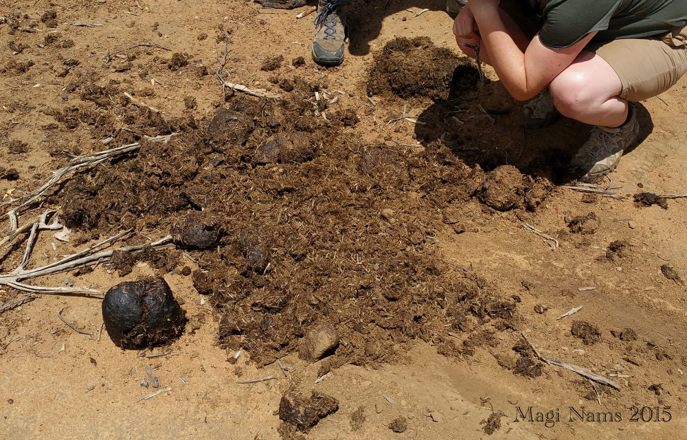 Reading African Animal Tracks and Sign: White Rhino Dung and Scrape (© Magi Nams)