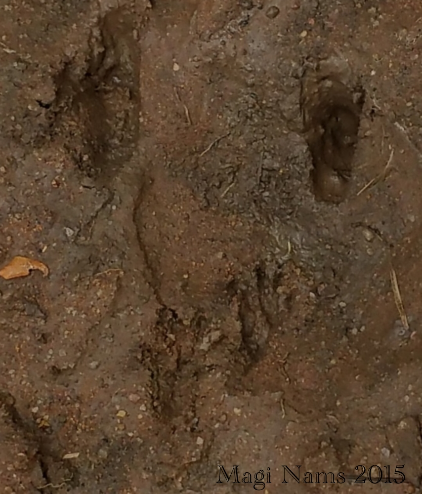 Reading African Animal Tracks and Sign: Tree Squirrel Tracks (© Magi Nams)