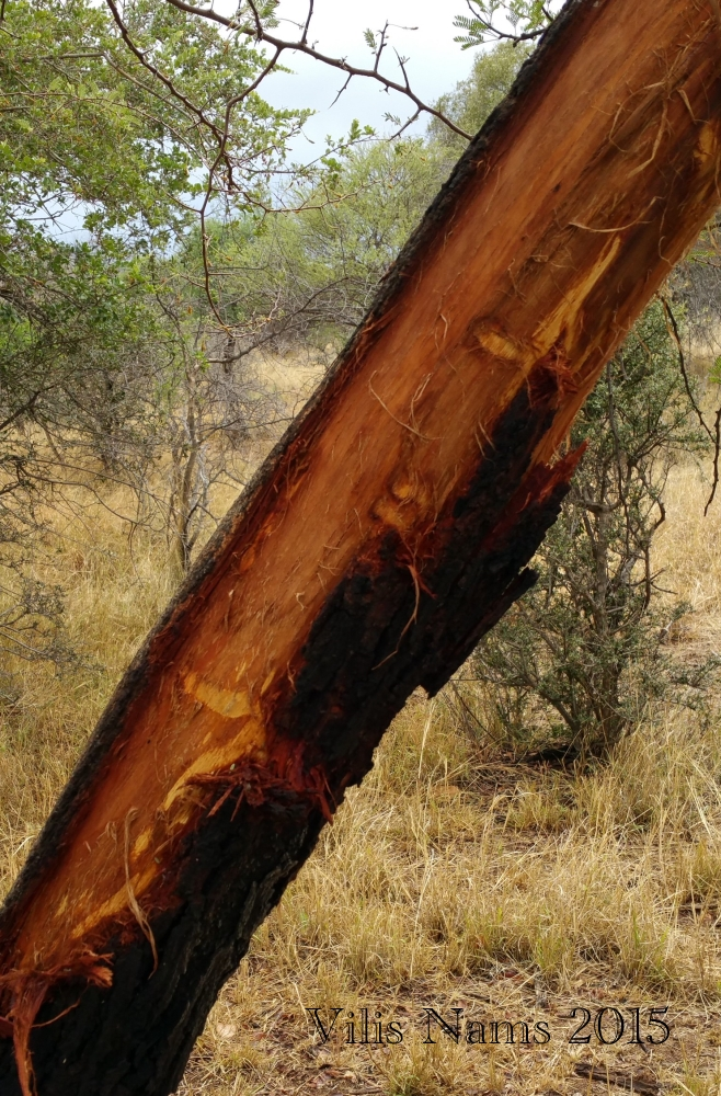 Six Months in South Africa: Tracking Wildlife in Limpopo: Elephant Tusk Marks on Tree (© Vilis Nams)