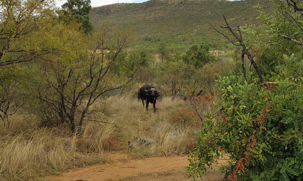 Six Months in South Africa: Tracking Wildlife in Limpopo: African Buffalo Bull(© Magi Nams)