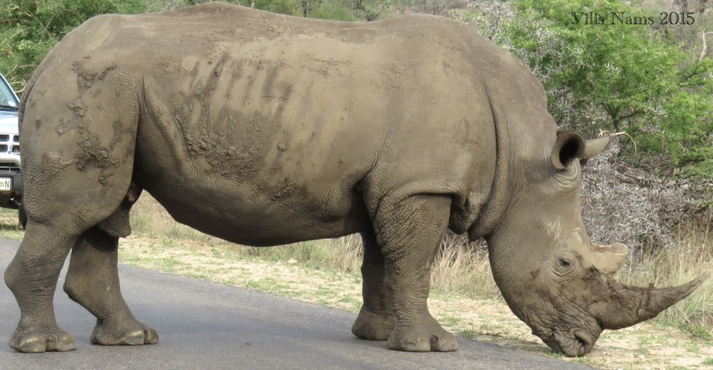 Six Months in South Africa: Kruger National Park: White Rhinocerus (Ceratotherium simum) (© Vilis Nams)