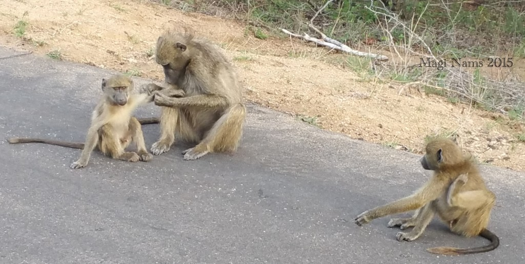 Six Months in South Africa: Kruger National Park: Savanna Baboons (Papio cynocephalus) Grooming (© Magi Nams)