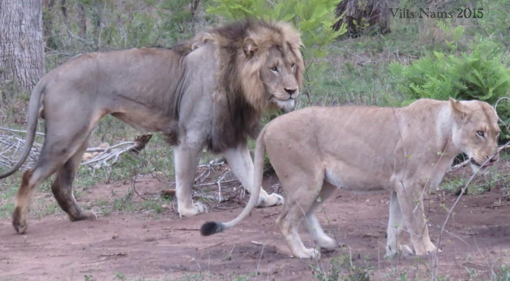 "Six Months in South Africa: Kruger National Park: ""Honeymooning"" Lions (Panthera leo) (© Vilis Nams)"