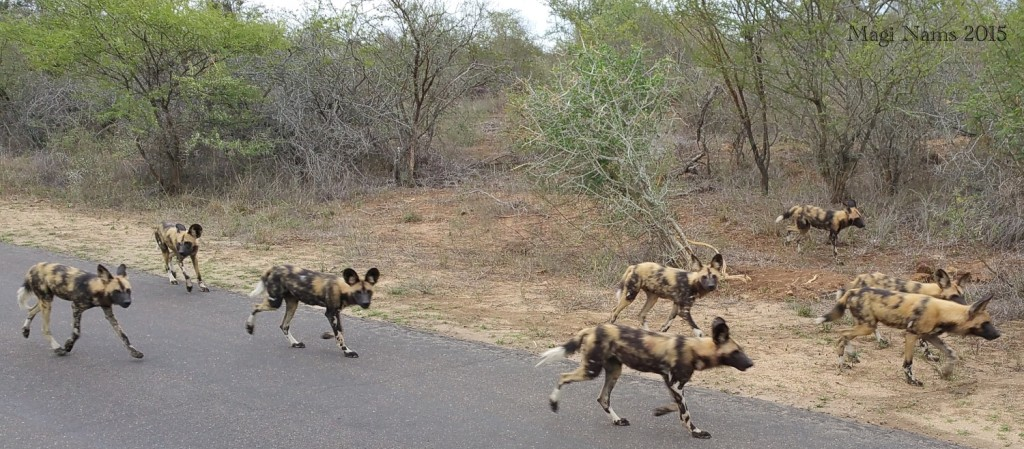 Six Months in South Africa: Kruger National Park: Wild Dogs (Lycaon pictus) (© Magi Nams)