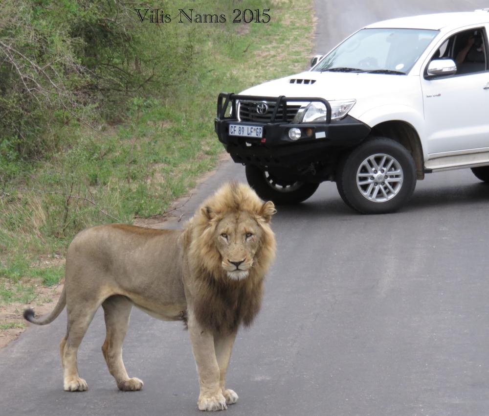 Six Months in South Africa: Kruger National Park: African Lion (Panthera leo) (© Vilis Nams)