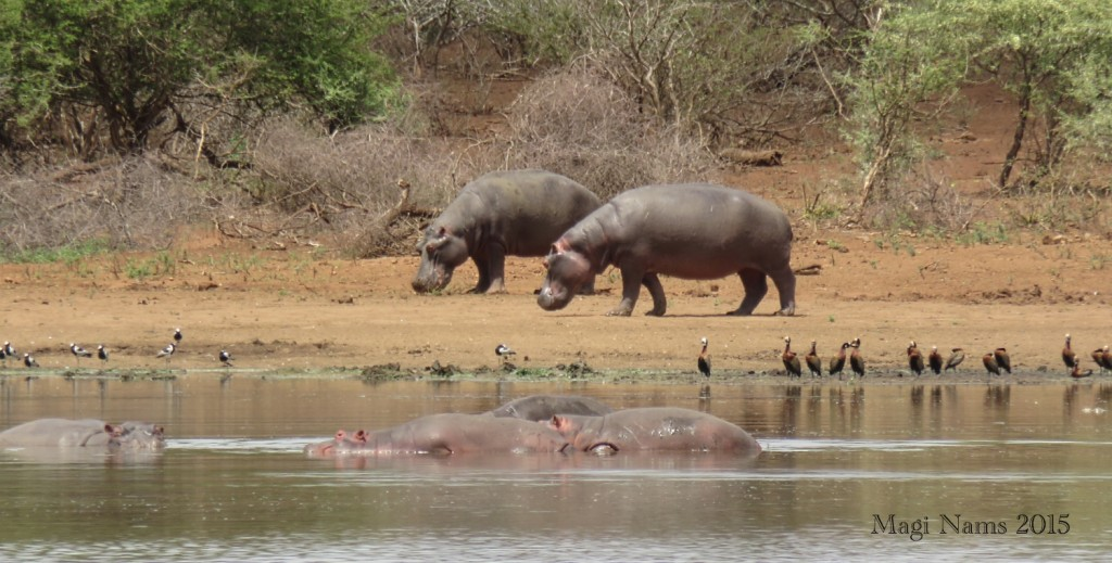 Six Months in South Africa: Kruger National Park: Hippopotamuses (Hippopotamus amphibius), Blacksmith Lapwings (Vanellus armatus) (left) and White-faced Whistling Ducks (Dendrocygna viduata) (right) at Lower Sabie Dam (© Magi Nams)