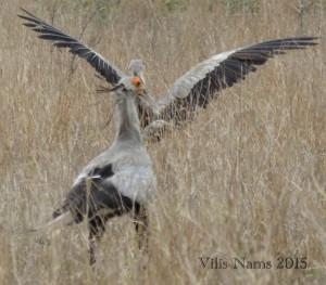 Six Months in South Africa: Kruger National Park: Secretarybirds (Sagittarius serpentarius) (© Vilis Nams)