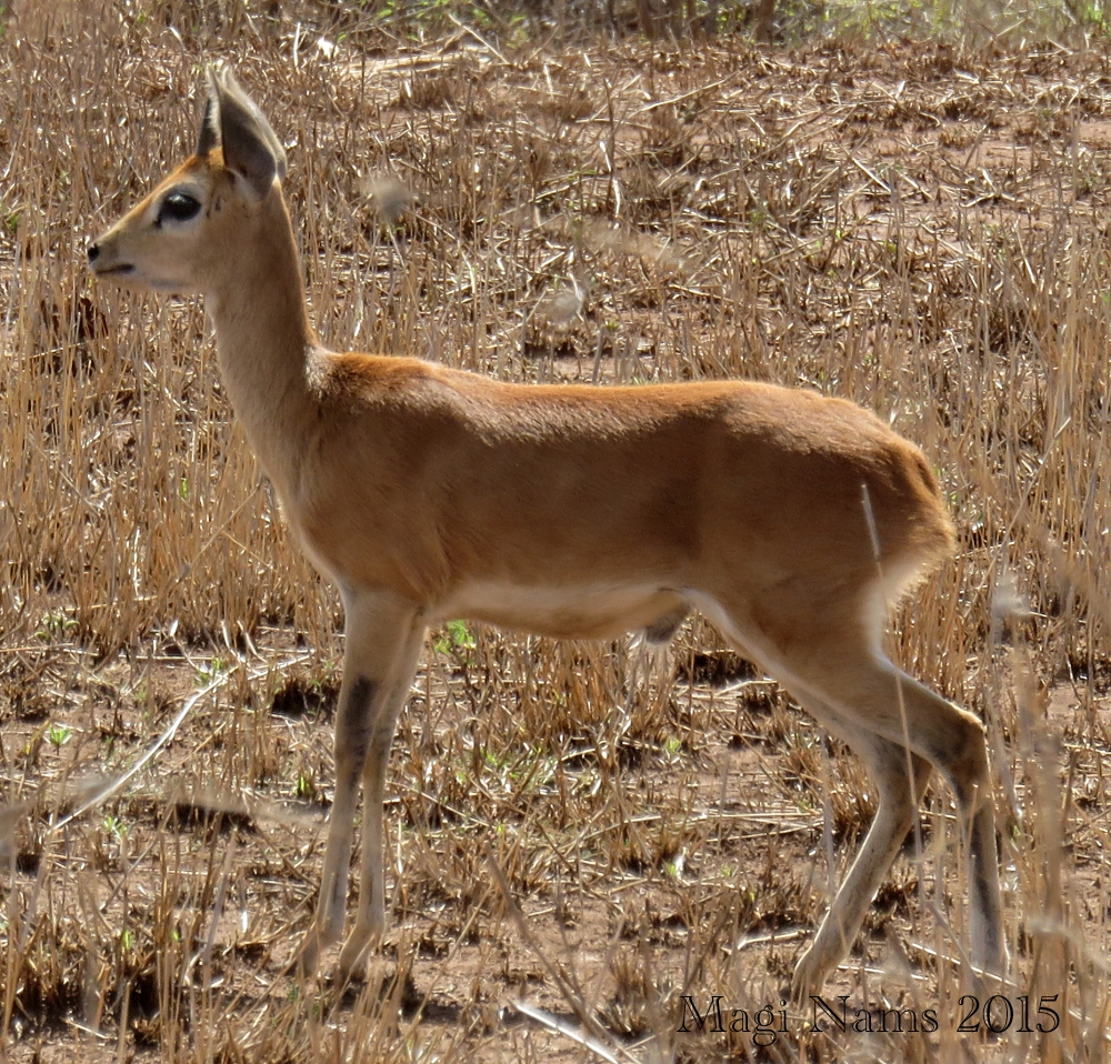 Six Months in South Africa: Kruger National Park: Steenbok (Raphicerus campestris) (© Magi Nams)