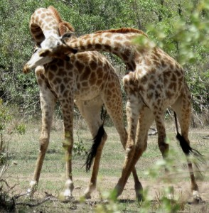 Six Months in South Africa: Kruger National Park: Male Giraffes (Giraffa camelopardalis) Fighting (© Vilis Nams)