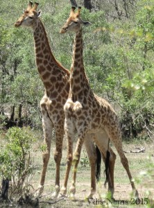 Six Months in South Africa: Kruger National Park: Male Giraffes (Giraffa camelopardalis) in Fighting Stance (© Vilis Nams)