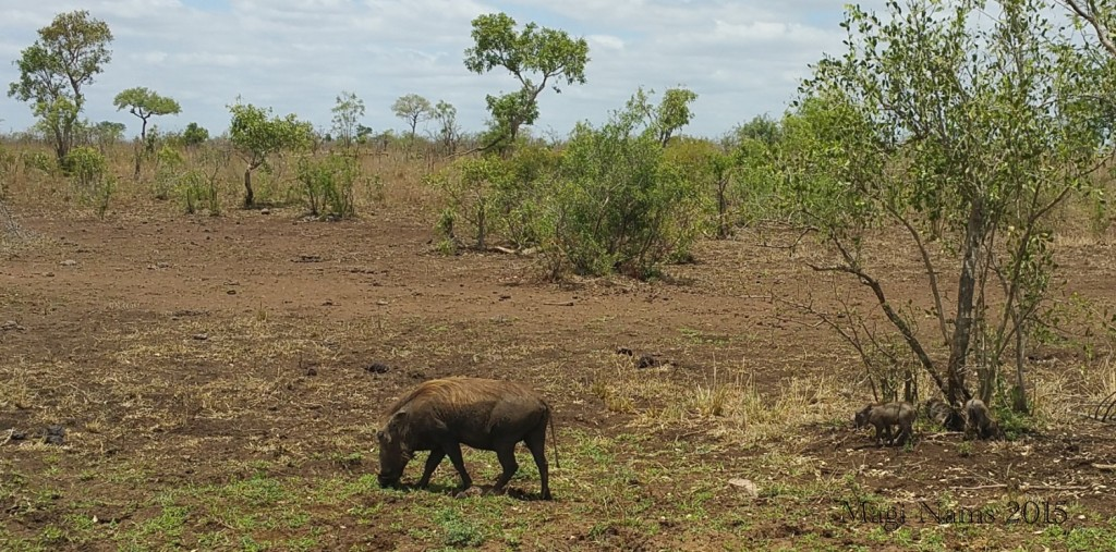 Six Months in South Africa: Kruger National Park: Female Warthog (Phacochoerus africanus) and Piglets, (© Magi Nams)