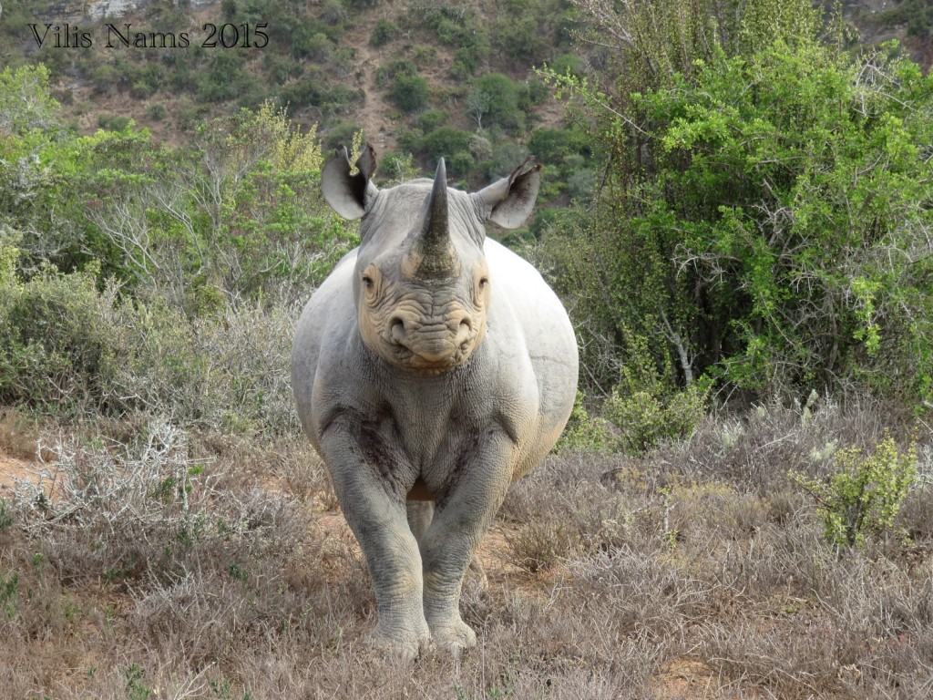 Six Months in South Africa: Great Fish River Reserve: Black Rhino (© Vilis Nams)