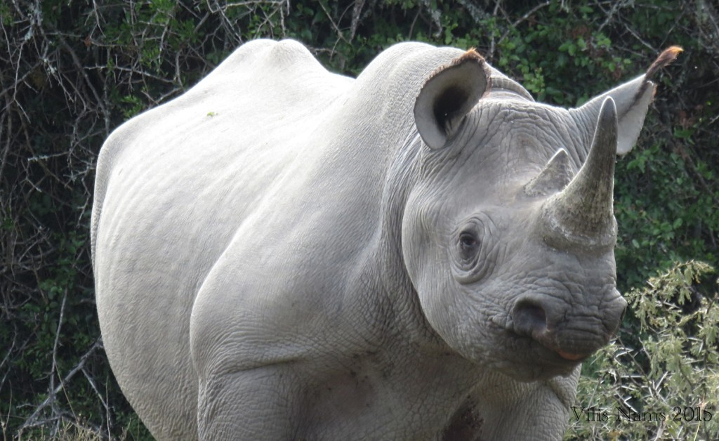 Six Months in South Africa: Great Fish River Reserve: Black Rhinocerus (© Vilis Nams)