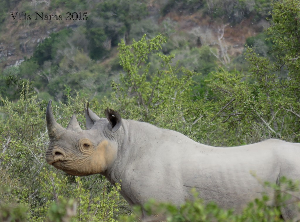 Six Months in South Africa: Great Fish River Reserve: Wary Black Rhino (© Vilis Nams)