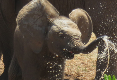From South African Summer to Canadian Winter - Big Change: Baby Elephant (Loxodonta africana) (© Magi Nams)