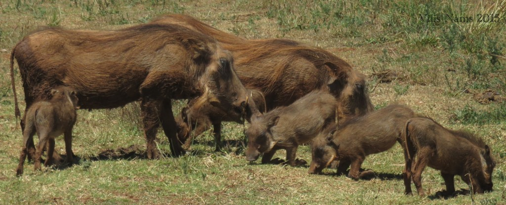 South African Summer to Canadian Winter – Big Change!: Warthogs (Phacochoerus africanus) (© Magi Nams)