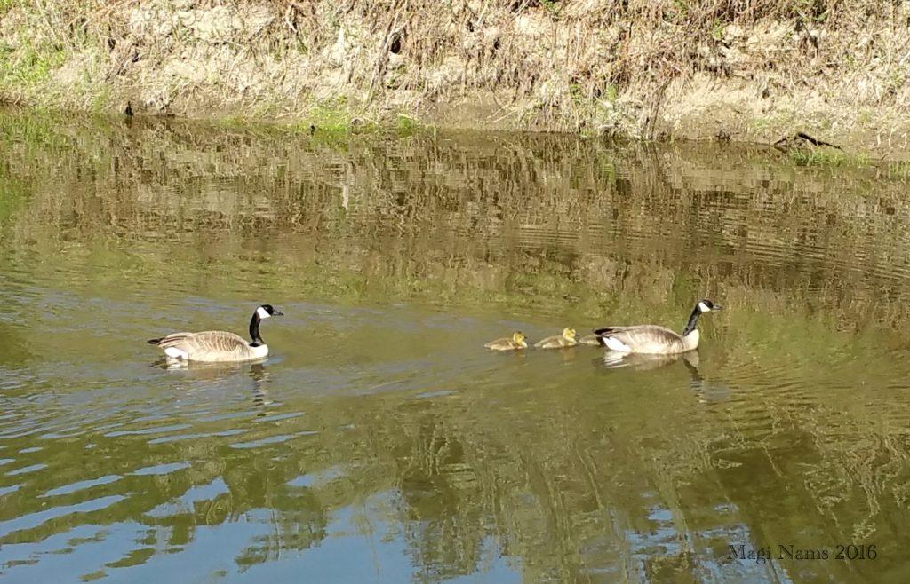 Canada Goose: Canada Geese with Goslings, Edmonton, Alberta, Canada (©Magi Nams)