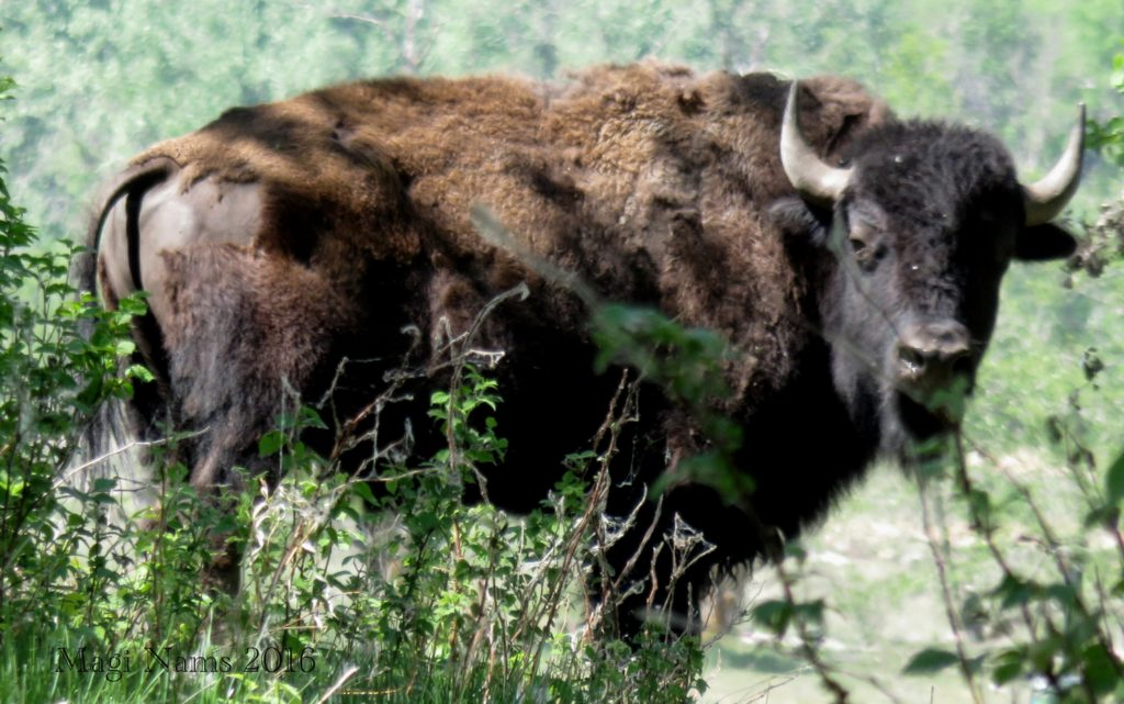 Hiking in Canada: Dry Island Buffalo Jump Provincial Park, Alberta: Plains bison (photographed in Elk Island National Park, Alberta) (© Magi Nams)