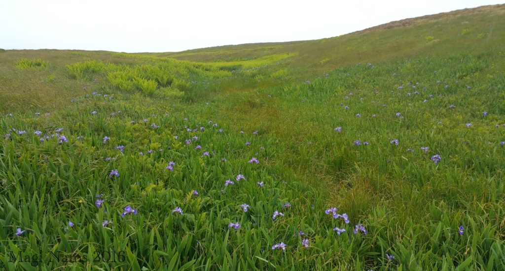 Cape St. Mary's Ecological Reserve: Wild irises, Cape St. Mary's Ecological Reserve (© Magi Nams)