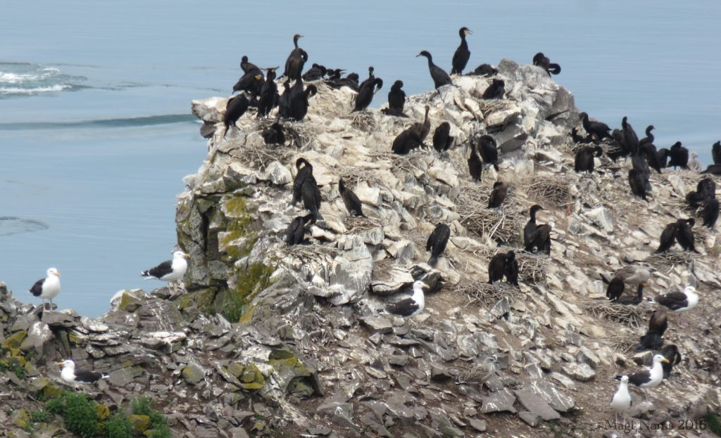 Cape Split: Double-crested Cormorants and Great Black-backed Gulls at Cape Split (©Magi Nams)