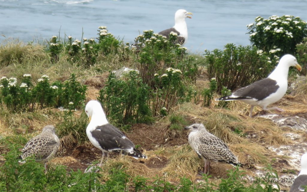Cape Split: Adult and Juvenile Great Black-backed Gulls at Cape Split (©Magi Nams)