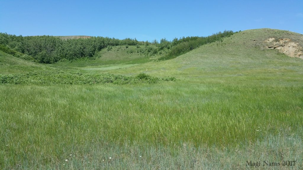 Hiking in Canada: Dry Island Buffalo Jump Provincial Park, Alberta: Prairie Grassland, Dry Island Buffalo Jump Provincial Park (©Magi Nams)