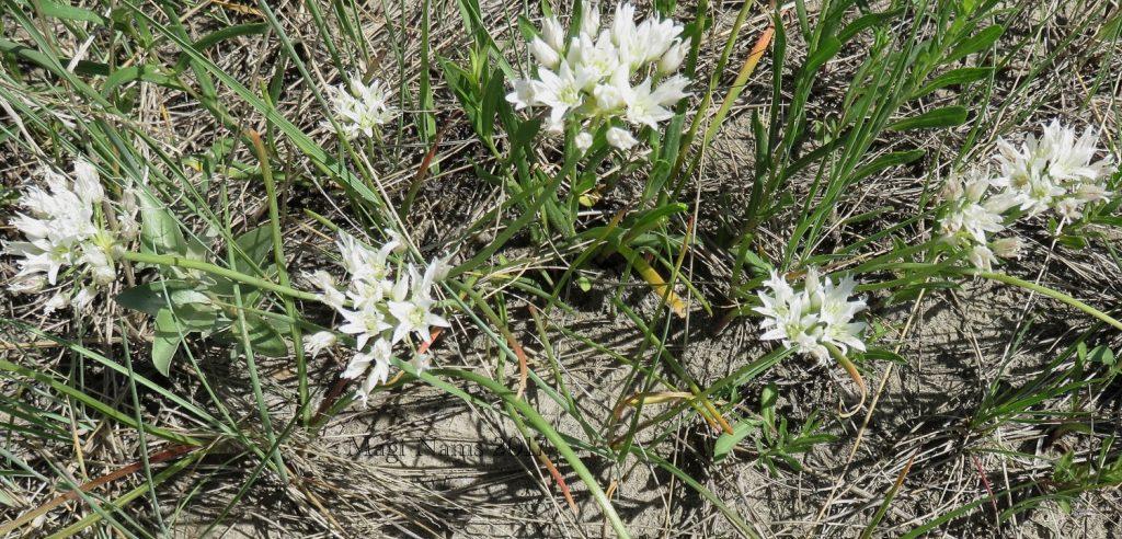 Hiking in Canada: Dry Island Buffalo Jump Provincial Park, Alberta: Prairie onion (Allium textile) (©Magi Nams)