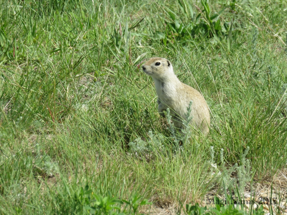 Hiking in Canada: Dry Island Buffalo Jump Provincial Park, Alberta: Richardson's ground squirrel, Dry Island Buffalo Jump Provincial Park (©Magi Nams)