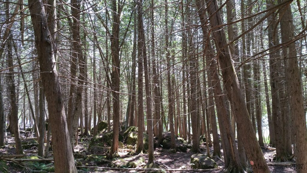 Hammond River Park: Eastern White Cedars, Hammond River Park, New Brunswick (© Magi Nams)