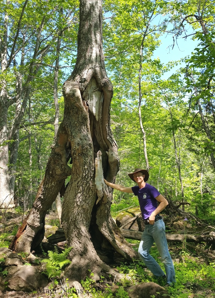"Hammond River Park: ""Ent"" Tree in Hammond River Park, New Brunswick (©Magi Nams)"