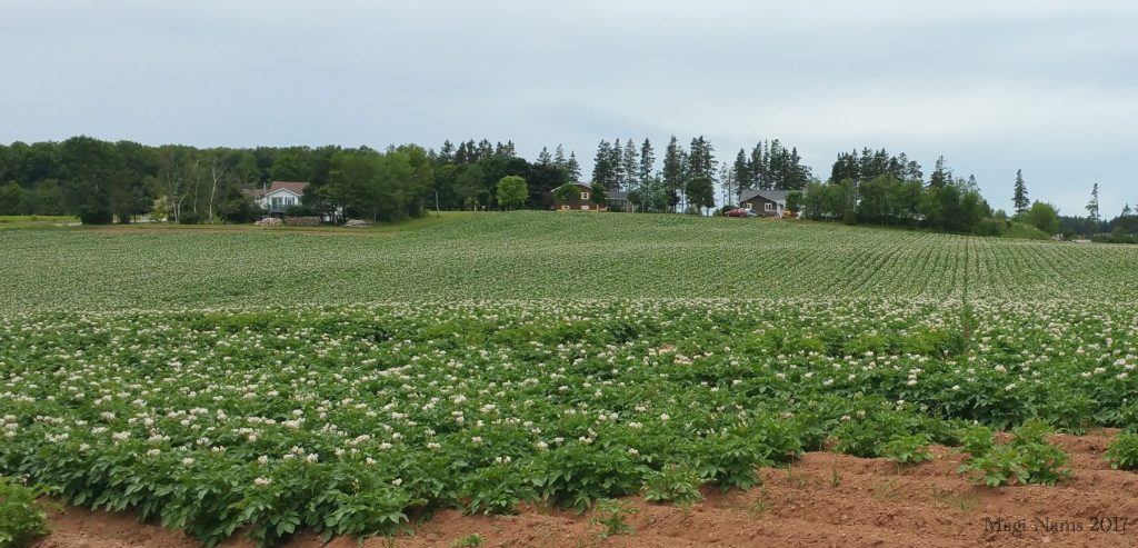 Images from Prince Edward Island: Potato Field near Montague, Prince Edward Island (©Magi Nams)