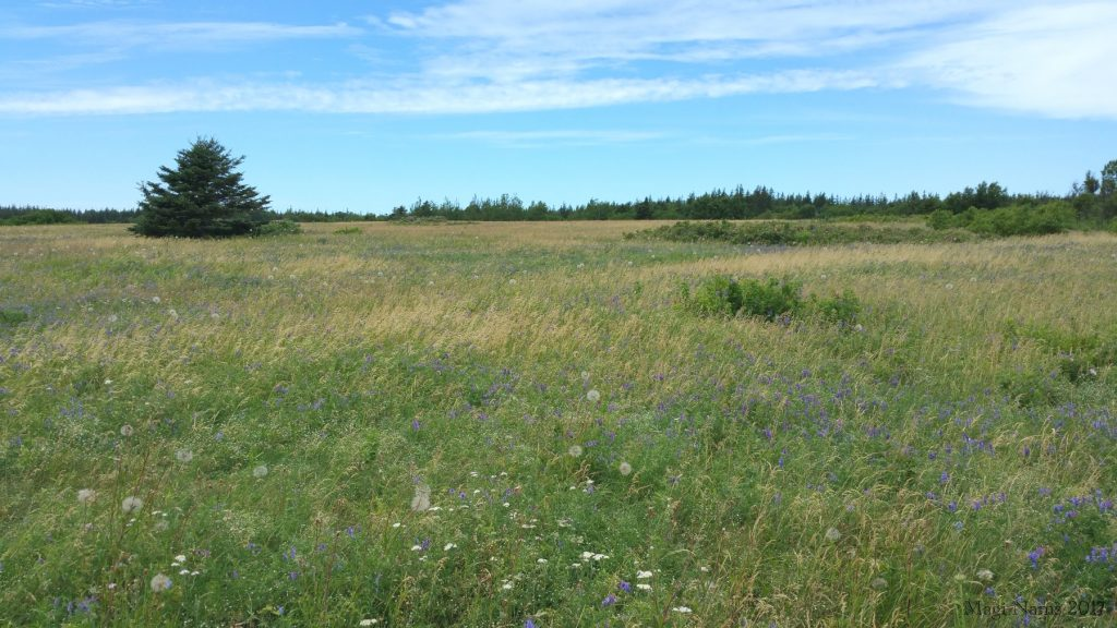 Images from Prince Edward Island: Wildflower Meadow, northeast Prince Edward Island (©Magi Nams)