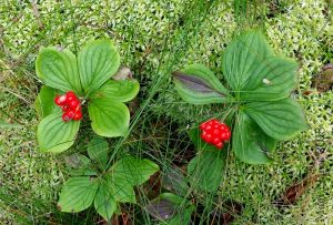 Hiking in Canada: Fundy National Park, New Brunswick: Bunchberry (Cornus canadensis) in fruit (© Magi Nams)