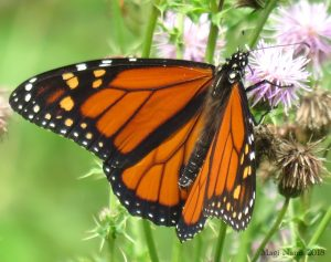 Hiking in Canada: Fundy National Park, New Brunswick: Monarch Butterfly (Danaus plexippus) (© Magi Nams)