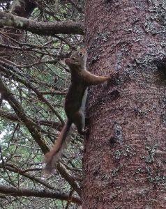 Hiking in Canada: Fundy National Park, New Brunswick: Red Squirrel (Tamiasciurus hudsonicus) (© Magi Nams)
