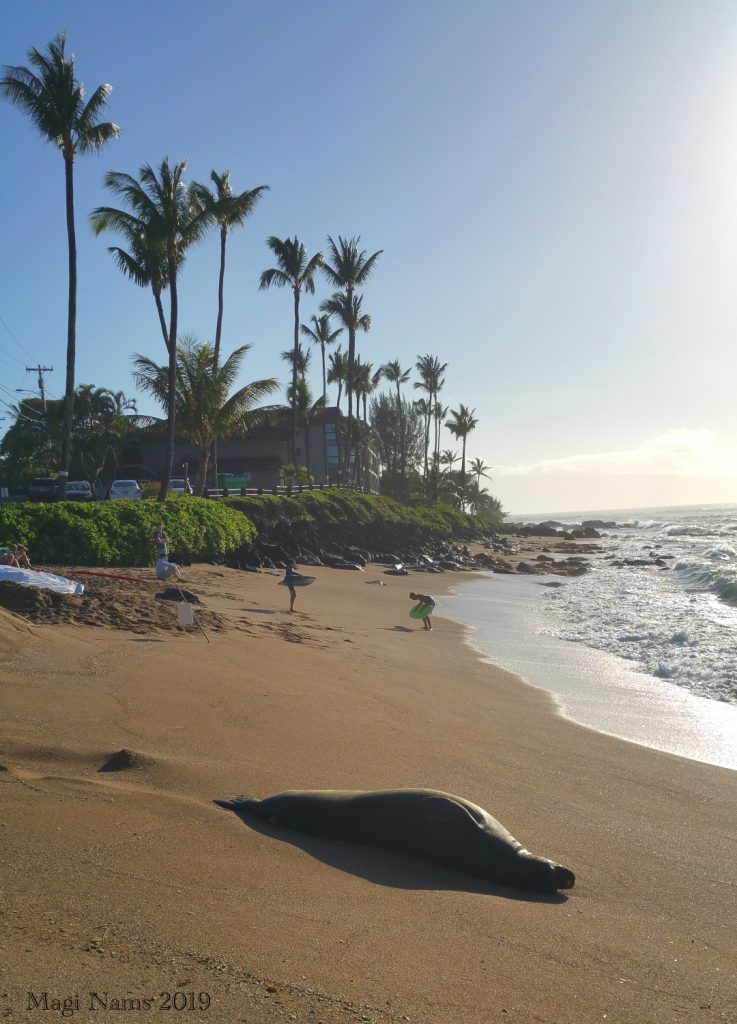 Exploring America: Maui, Hawai'i: Hawaiian Monk Seal resting on beach in Honokowai, West Maui (© Magi Nams)