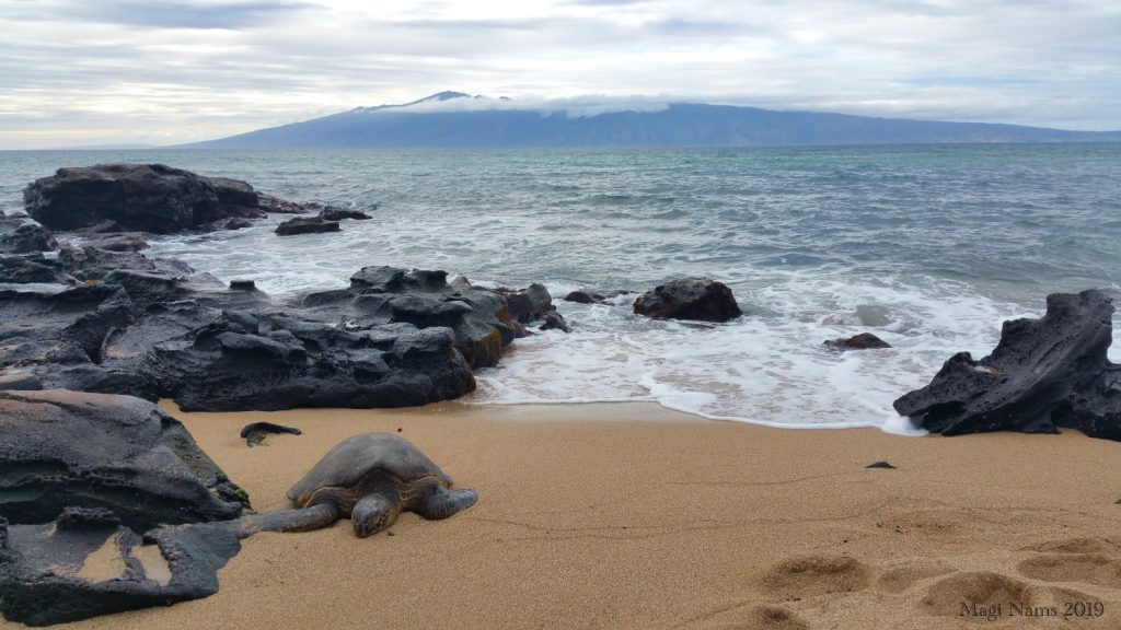Exploring America: Maui, Hawai'i: Hawaiian Green Sea Turtle (Chelonia mydas) onshore at Honokowai, with the island of Moloka'i in the background (© Magi Nams)