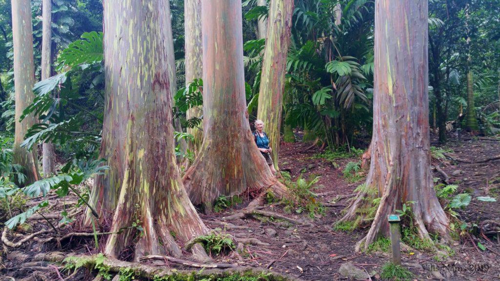 Exploring America: Maui, Hawai'i: Rainbow Eucalyptus Trees in Ke'anae Arboretum, Maui, Hawai'i (© Vilis Nams)
