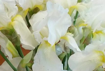Exploring Faith: How Do We Spread Beauty In This World?: White Iris (© Magi Nams)