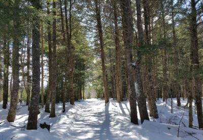 Exploring Faith: Who Am I to Receive a Gift of Such Beauty?: My Access Road through Sunlit Hemlock Forest (© Magi Nams)